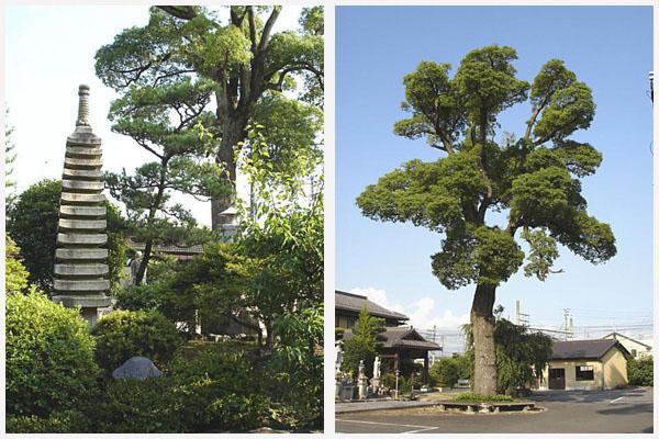 客殿より望む庭園・歴史と共に歩む楠木